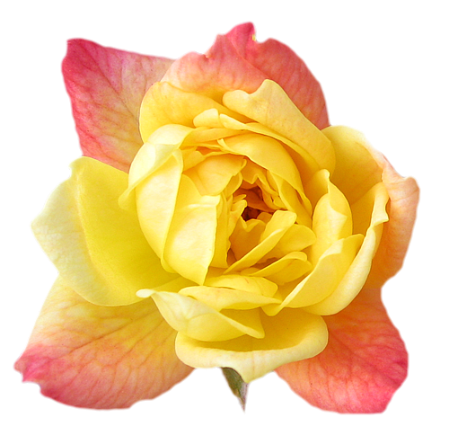 yellow-rose-transparent-isolated